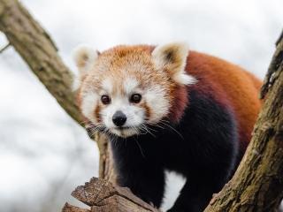 oso panda rojo, animales en peligro de extinción