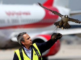 vigilar aeropuertos halcones aves rapaces drones aena