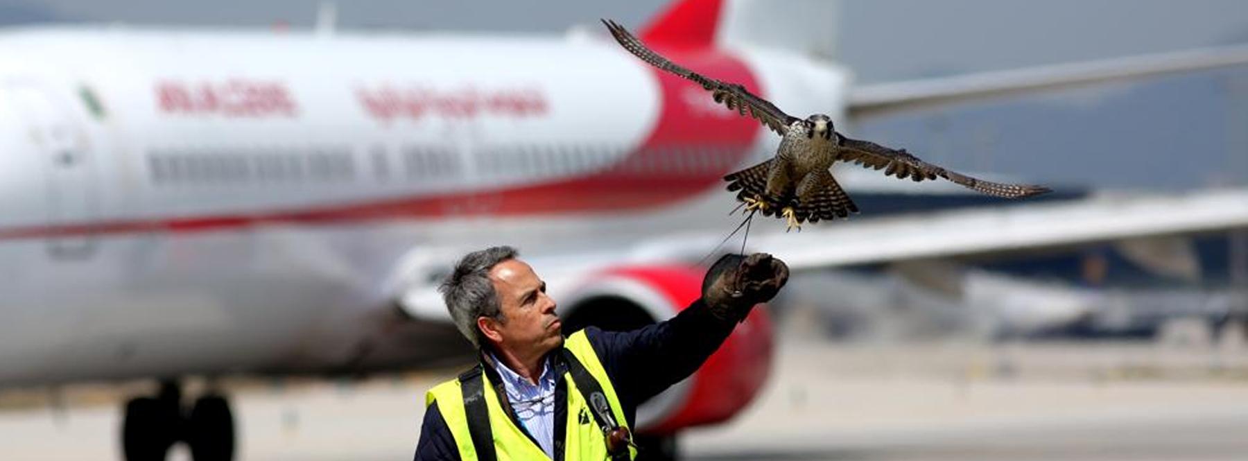 Los drones sustituyen a las aves rapaces como vigilantes de los aeropuertos